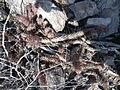 Mammillaria poselgeri (5771210030).jpg
