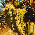 Mandacaru (Cereus jamacaru).jpg