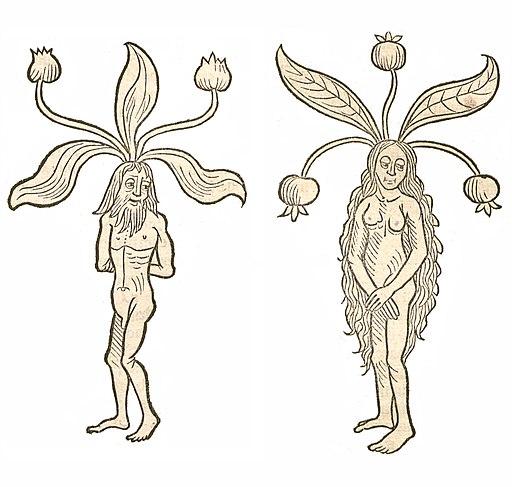 Mandragora Hortus 1491a