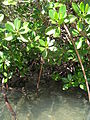 Mangroves, up close (2) (8746507427).jpg