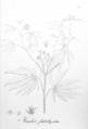 Manihot esculenta flabellifolia Pohl25.png