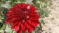 Many-petaled red flower in India.jpg