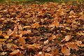 Maple Leaf litter.jpg