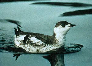 English: Marbled Murrelet (Brachyramphus marmo...