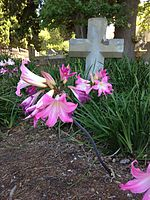 Amaryllis belladonna (March lillies) blooming in March in Rondebosch, Cape Town, South Africa.