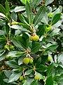 Marciana Alta - Früchte 1.jpg
