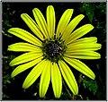 Margarida silvestre amarela e negra.jpg