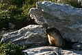 Marmota camtschatica img 4968.jpg