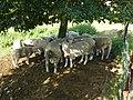 Marquigny (Ardennes) des moutons dans le pré sous l'église.JPG