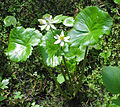 Marsh marigold Caltha leptosepala close.jpg