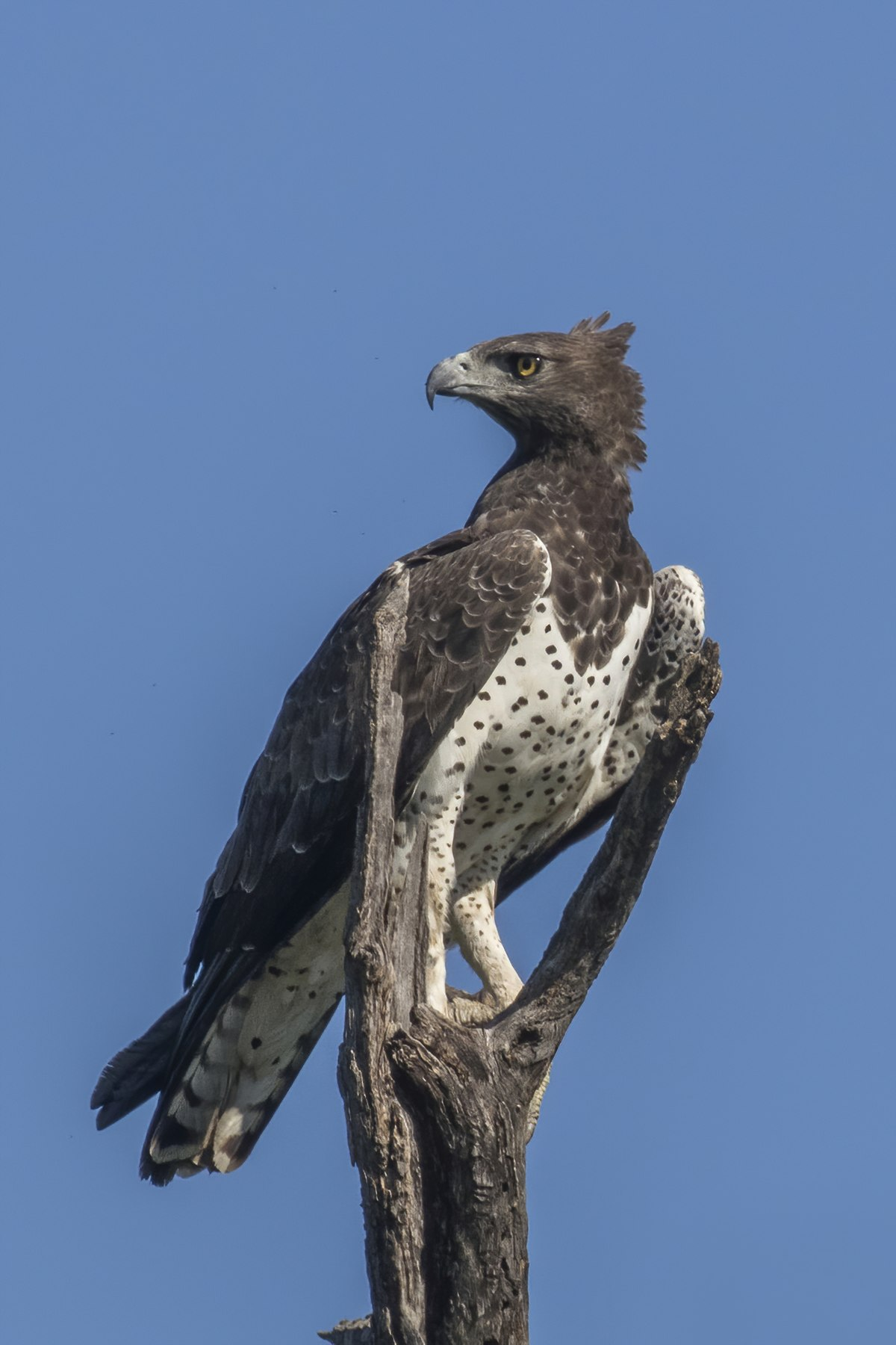 Martial eagle - Wikipedia