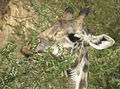 Masai Giraffe Giraffa camelopardalis tippelskirchi in Tanzania 0781 cropped1 Nevit.jpg