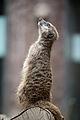 Meerkat (7658885960).jpg
