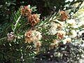 Melaleuca tortifolia (3).jpg