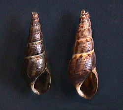 Apertural view of two shells of Melanoides tuberculatus