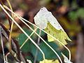 Menispermum canadense 8298.jpg