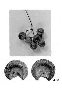 <i>Menispermum</i> genus of plants