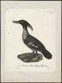 Mergus brasiliensis - 1825-1834 - Print - Iconographia Zoologica - Special Collections University of Amsterdam - UBA01 IZ17700211.tif