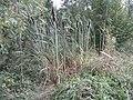 Michelbach Zufluss Engelseifen im Wald Rohrkolben R0019945.jpg