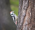Middle spotted woodpecker (37788524621).jpg