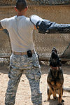 Military Working Dogs training in Baghdad, Iraq DVIDS173839.jpg