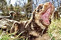 Miniature poodle puppy 6 weeks, outdoors, in sun, on grass, yawn, open mouth, flash, close-up. (Nærbilde med blits av dvergpuddel-hvalp i sol på gress. Gjesper med åpen munn.) Tjøme, Norway 2020-04-09 6422.jpg