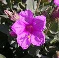 Mirabilis multiflora 2004-08-22.jpg