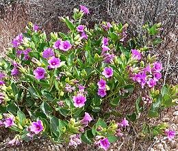 Mirabilis multiflora 5