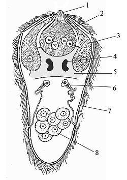 Miracidium.jpg