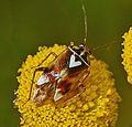Miridae - Lygus pratensis-000.JPG