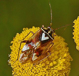 <i>Lygus pratensis</i> Species of true bug