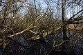 Mit Moos bewachsene Bäume im Everstenmoor.jpg