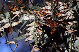 Monarch butterflies cluster in Santa Cruz 7.jpg