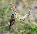 Monarch butterfly (70377).jpg