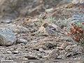 Mongolian Finch (Bucanetes mongolicus) (33889667988).jpg