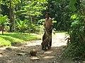 Monkey collecting coconut - vycvičená opice trhá kokosy - panoramio - Thajsko (3).jpg