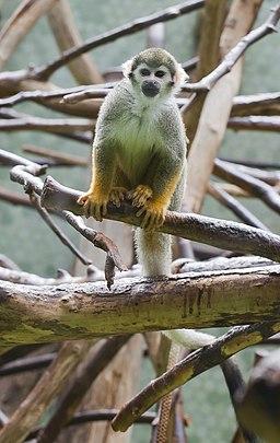 Mono ardilla común (Saimiri sciureus)