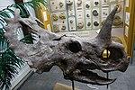 Monoclonius crassus skull BYU2.jpg