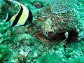 Moorish Idol and Sea Urchin (5711835733).jpg