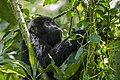Mountain gorilla (Gorilla beringei beringei) 19.jpg