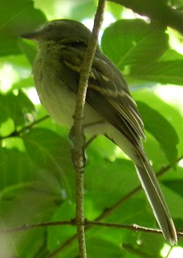 Mouse-colored tyrannulet Pt Gourde, Trinidad, July 2012 (7654595722).jpg