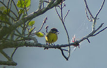 Moustached Brush-finch (Atlapetes albofrenatus).jpg