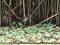 Moustached Warbler (Acrocephalus melanopogon) (38741213865).jpg