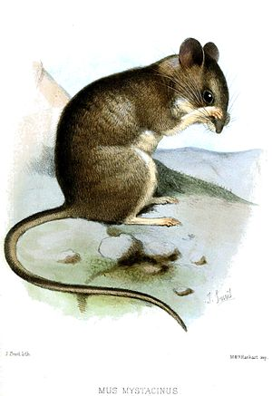 Broad-toothed field mouse
