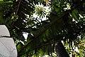 Musa zebrina 8zz.jpg