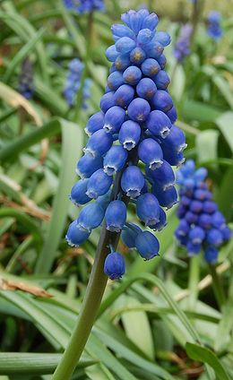 Muscari Neglectum.jpg