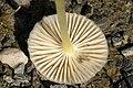 Mycena.epipterygia4.-.lindsey.jpg