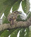 Myiodynastes maculatus - Flickr - Dick Culbert (1).jpg