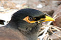 Myna-face-closeup.jpg