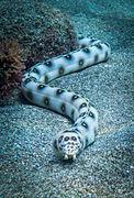 Myrichthys ocellatus (Serpentine ocellée)